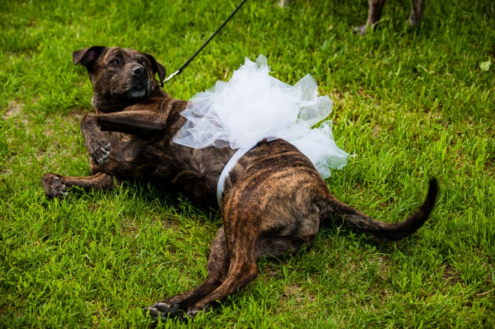 wedding pup poses in her white doggie tutu before the ceremony