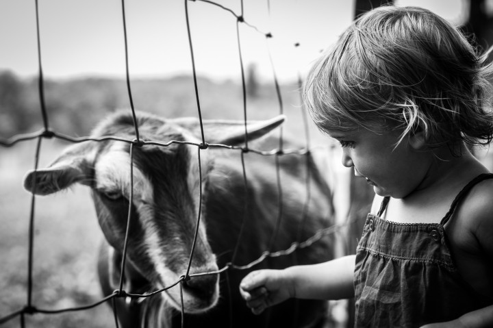 little girl visits with a goat during her baby portrait session