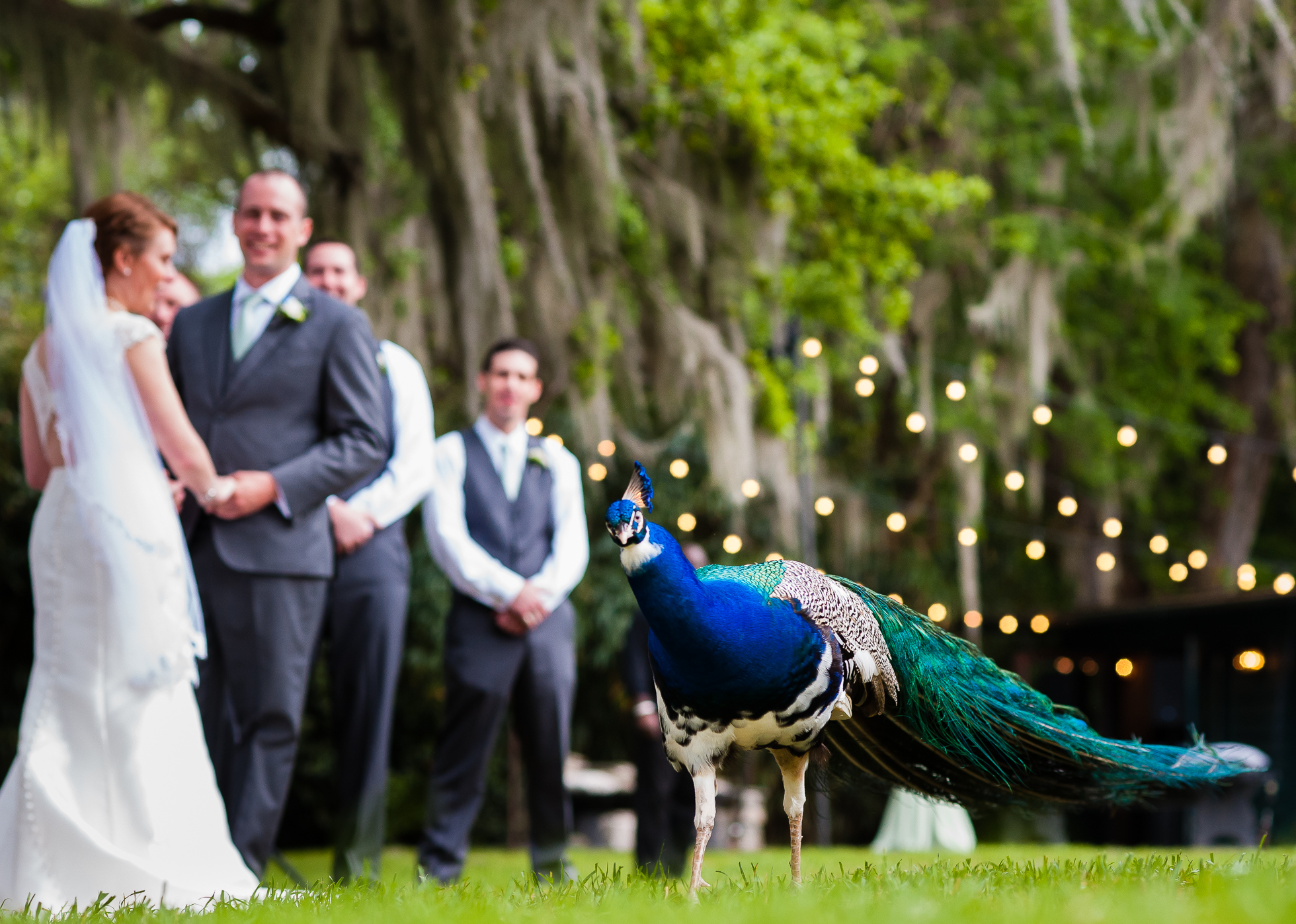 gorgeous peacock parades during a wedding ceremony at Magnolia Plantation in Charleston