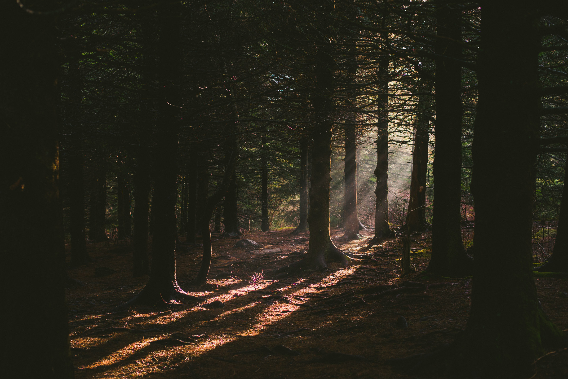 Dramatic light coming through a dense pine forest